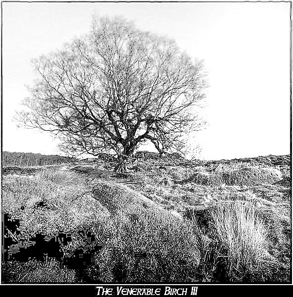 The Venerable Birch III by GrahamNobles