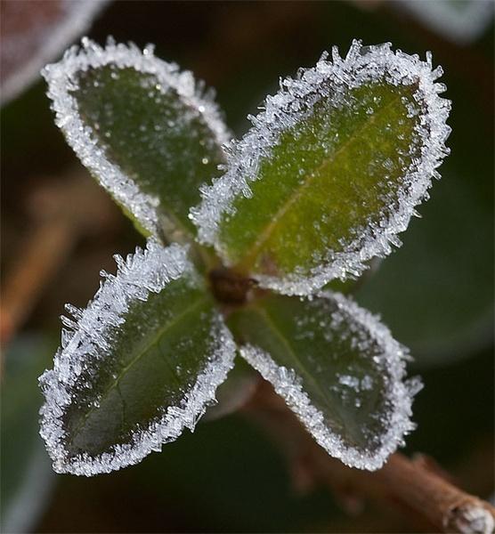 Frosty Leaves by dannyg