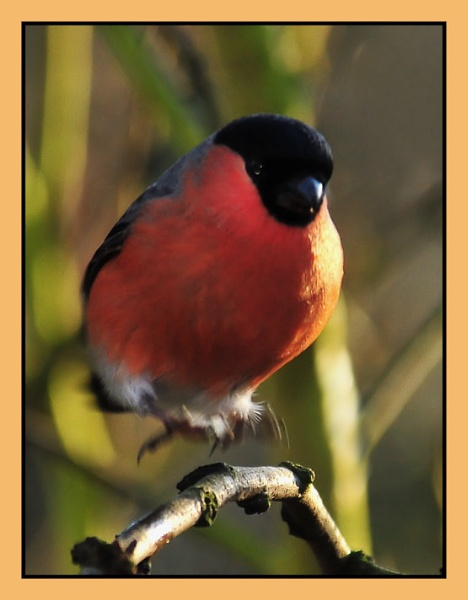male bull finch by dden