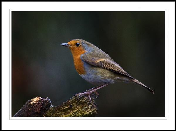 Robin by Pegon