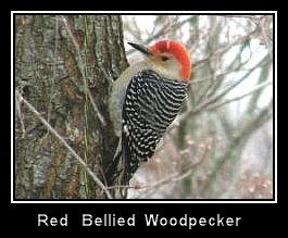 Red Bellied Woodpecker by PattiW
