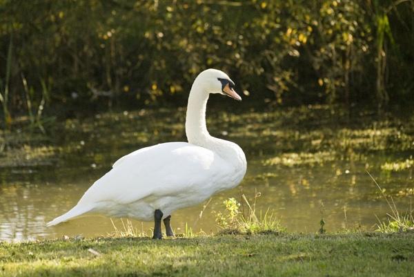 Swan by wheeldon
