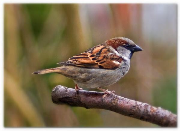 sparrow by patman