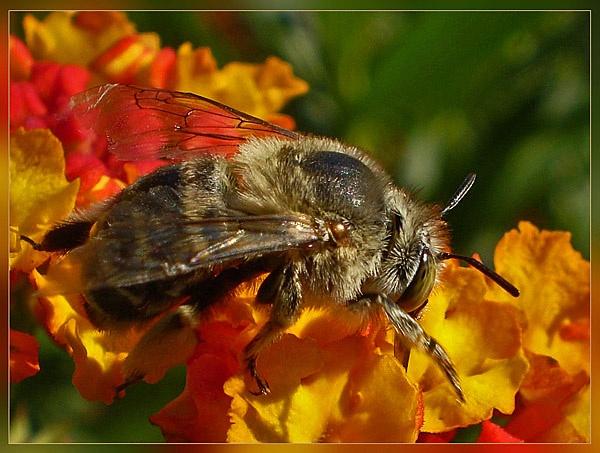 lantana bees by CarolG