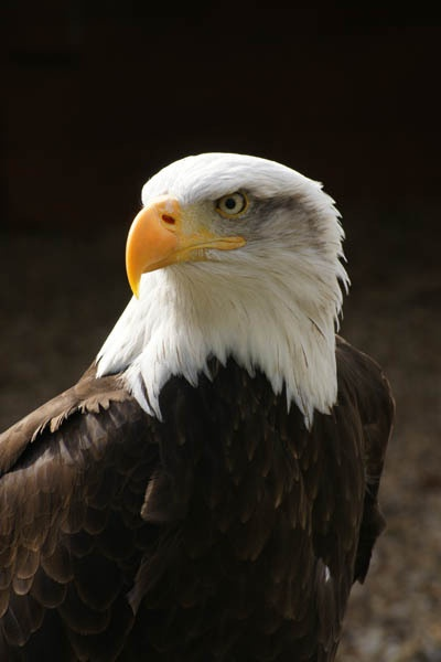 American Bald Eagle by BeckC