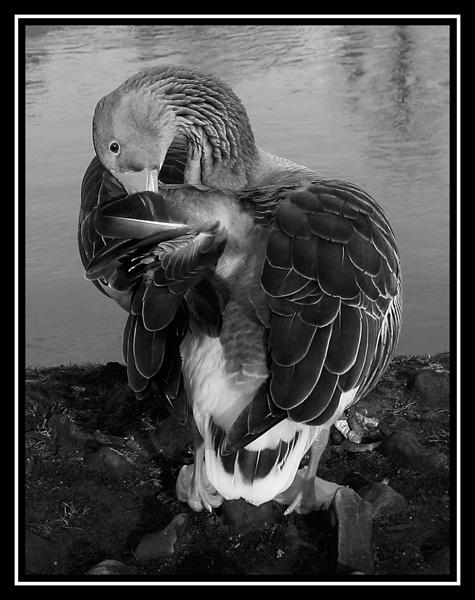 Camera Shy Goose by 11thearlofmar