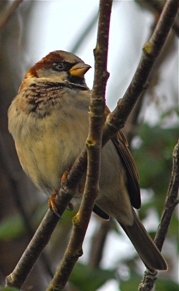 House Sparrow by sneal