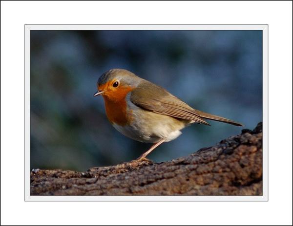 Robin by ZInaNMooner