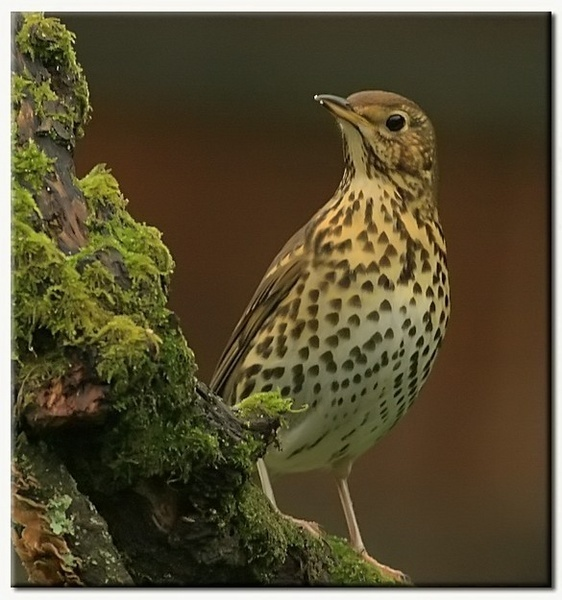 song thrush by baxster