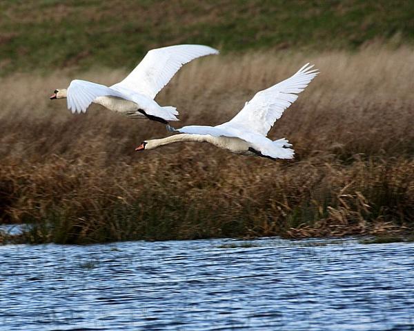 Swans in flight 2 by johnlwadd