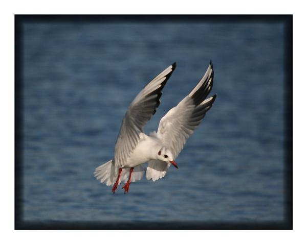 gull in flight by ayliffe