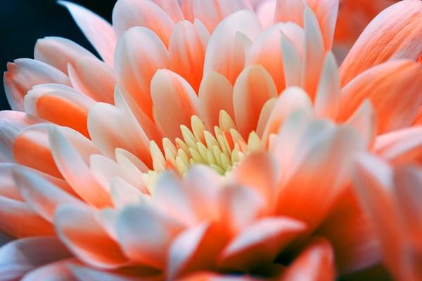 Peach Gerbera/Dahlia by pj.morley