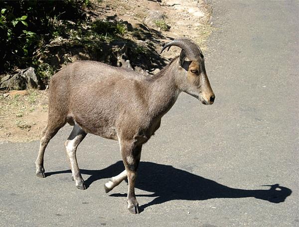 Wild goat crossing road by moonboyindia