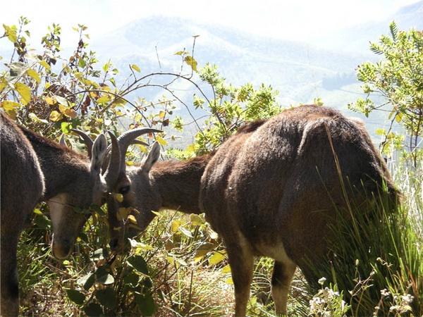 Wild Goats on fighting by moonboyindia