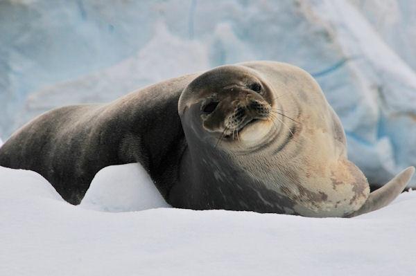 Weddell seal by KangaGal
