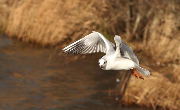 gull in flight by blacklug
