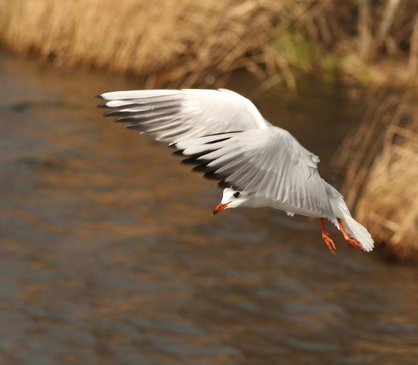 gull 2 by blacklug