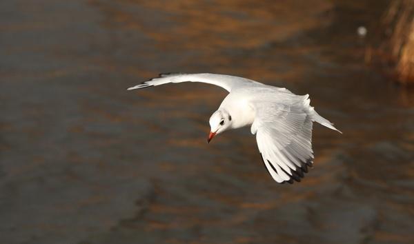 gull 3 by blacklug