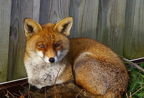 Fox in my garden by samjackster