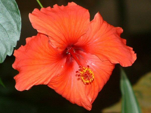Big Red Flower by Debs_Rocker