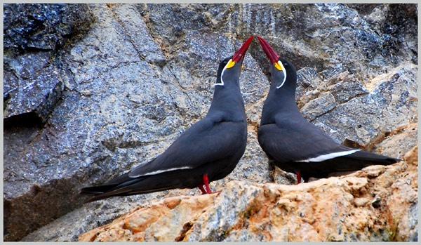 Inca Terns by Cressy