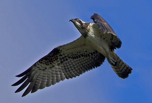 Osprey 9 by targetman