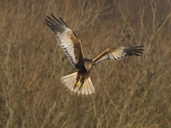Marsh harrier by targetman