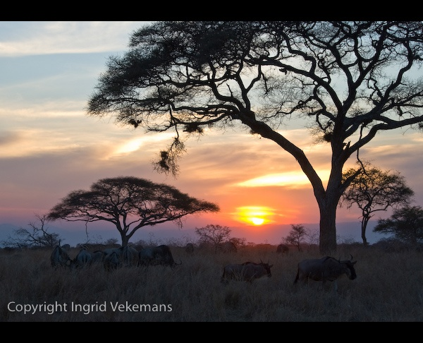 Wildebeest Sunset by IngridVekemans
