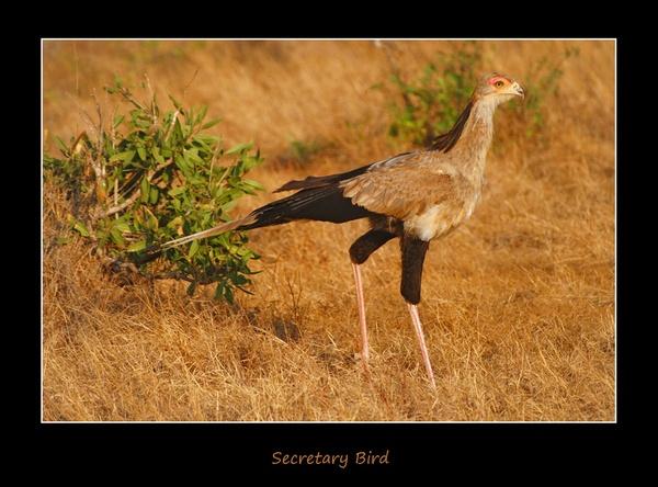 Secretary Bird by co