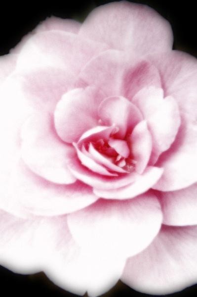 Flower dreams by wheeldon