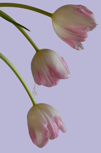3 tulips by geniehawk