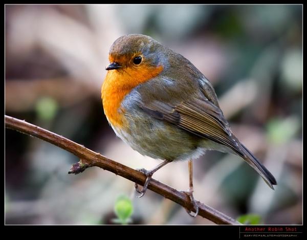 Another Robin Shot by garymcparland