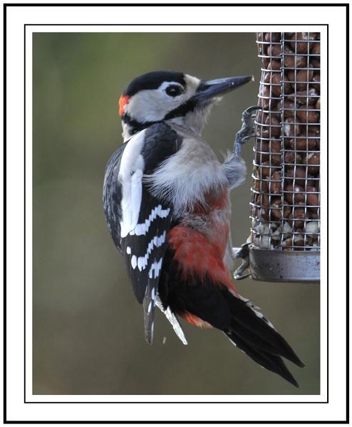 Woodpecker by Maiwand