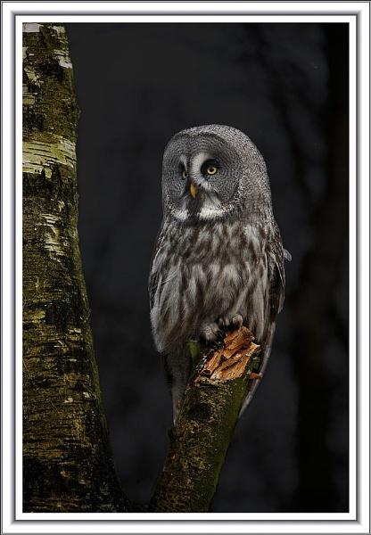 Great Grey Owl 2 by arhb