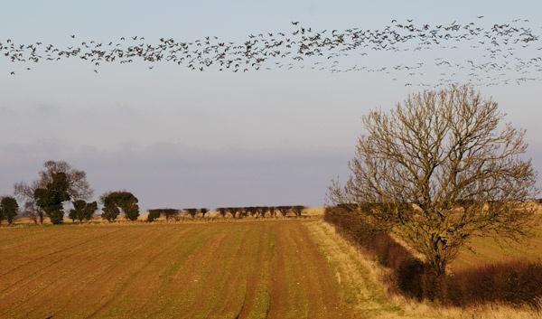 norfolk geese by katster