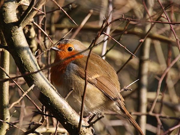 Robin by johnlwadd