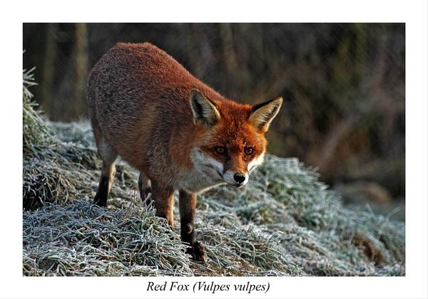 Red fox (Vulpes vulpes) by BERTRAM