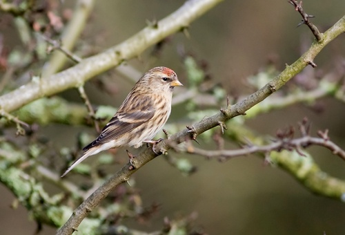 lesser redpoll by Icee