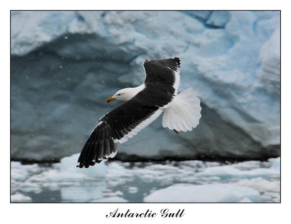 Antarctic Gull by KangaGal