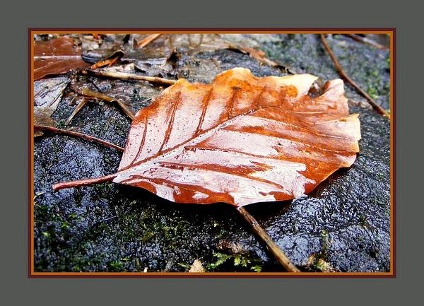 Wet Leaf by rosiebobo