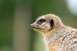 Meerkat watchman