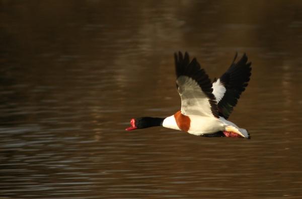 Flying Shelduck by blacklug
