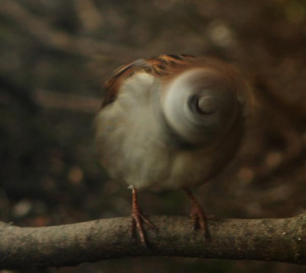 Twist Top Sparrow by blacklug