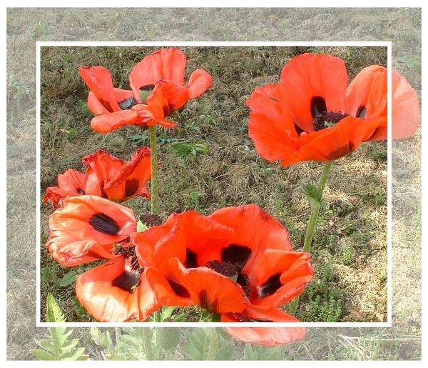 Poppies by sanjan