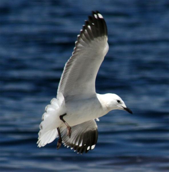 Seagull by Robyn2012