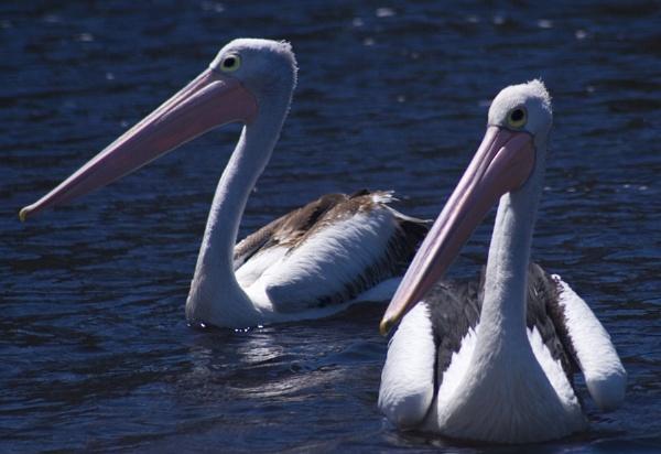 Pelicans x 2 by Robyn2012
