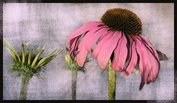cone flower by MacroRebel