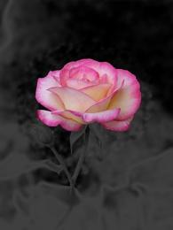 negative rose