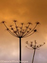 Hog Weed seed heads by DWhite_Images at 29/01/2009 - 10:01 AM