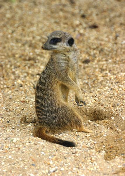 Meerkat by SteveMoulding